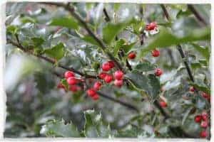 Holly Berries in Olympia WA