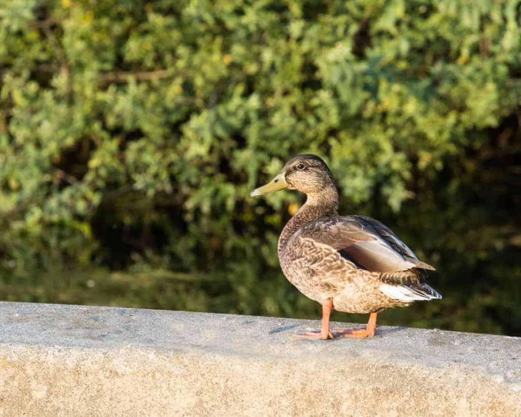 Marathon Park Olympia WA duck